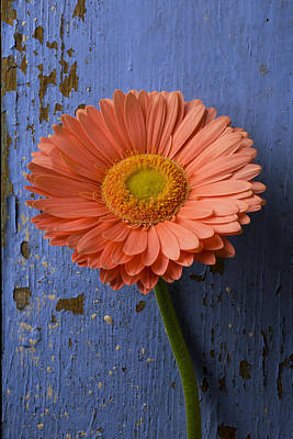 Gerbera Photograph - Pink Daisy Against Blue Wall by Garry Gay