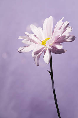 Abstract Photograph - Pink Daisy by Ami Poindexter