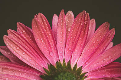 Photograph - Pink Daisy by Jessica Nelson