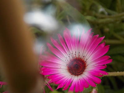 Photograph - Pink Daisy by Matt Swann