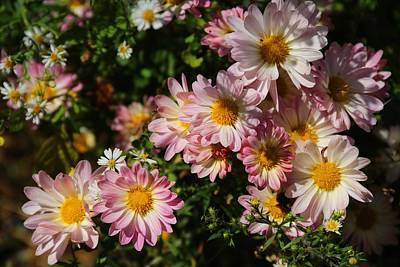 Photograph - Pink Daisy Mums by Kathryn Meyer