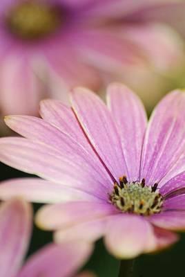 Photograph - Pink Daisy by Ramona Whiteaker