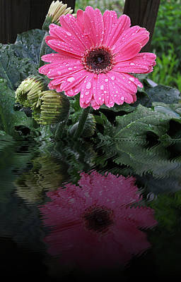 Photograph - Pink Daisy Reflects by MTBobbins Photography