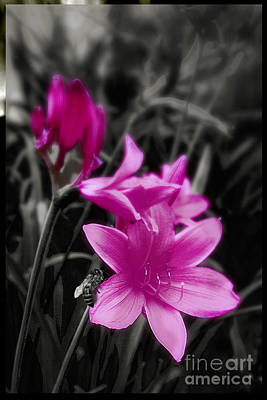 Lilies Royalty-Free and Rights-Managed Images - Pink Day Lily by Mindy Sommers