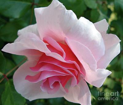 Belinda Landtroop Royalty Free Images - Pink Delight Royalty-Free Image by Belinda Landtroop