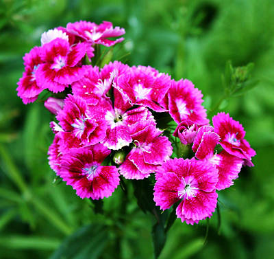 Pink Dianthus Art Print by Cathie Tyler