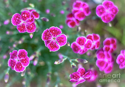 Photograph - Pink Dianthus by Cheryl Baxter