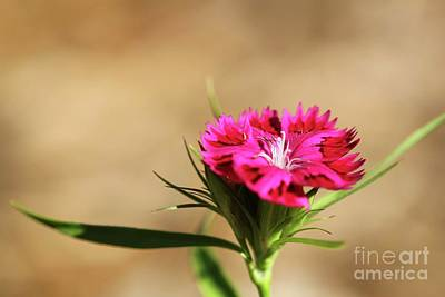 Photograph - Pink Dianthus by Jimmy Ostgard