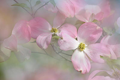 Photograph - Pink Dogwood 02 by Ann Bridges