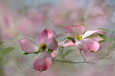 Photograph - pink Dogwood 03 by Ann Bridges