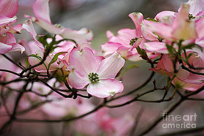 Photograph - Pink Dogwood 20120415_68a by Tina Hopkins