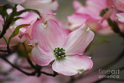 Photograph - Pink Dogwood 20120415_70a by Tina Hopkins