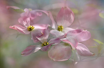 Photograph - Pink Dogwood by Ann Bridges