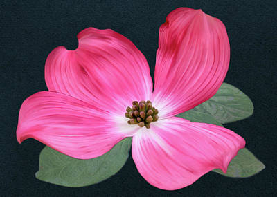 Digital Art - Pink Dogwood Blossom #1 by Bill Johnson