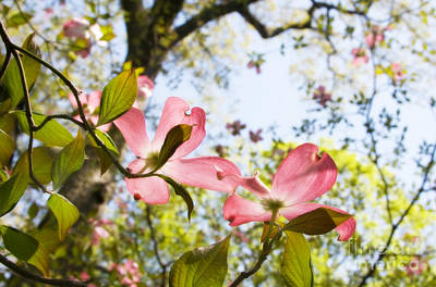 Photograph - Pink Dogwood Blossoms by Chris Scroggins