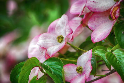 Photograph - Pink Dogwood by Bonnie Bruno