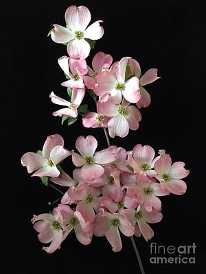 Photograph - Pink Dogwood Branch by Jeannie Rhode