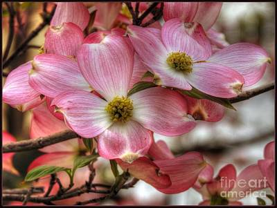 Photograph - Pink Dogwood by Brenda Bostic