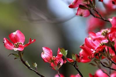 Photograph - Pink Dogwood by Carol Montoya