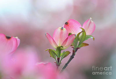 Photograph - Pink Dogwood by Cindy Manero