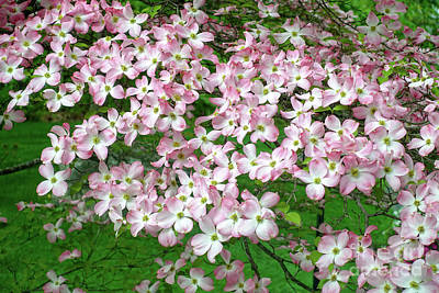 Photograph - Pink Dogwood Flowers by Edward Fielding