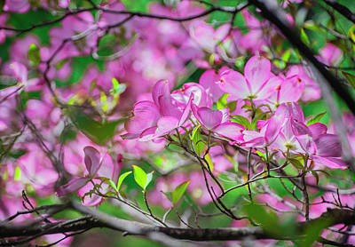 Photograph - Pink Dogwood II by Steph Gabler