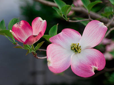 Photograph - Pink Dogwood In The Morning Light by Lori Coleman