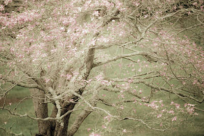 Photograph - Pink Dogwood by John Whitmarsh