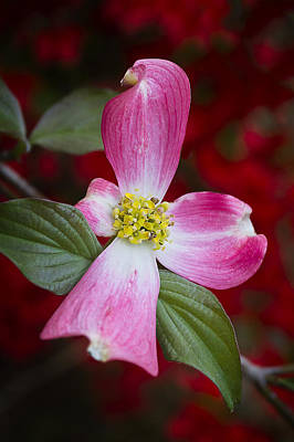 Photograph - Pink Dogwood by Ken Barrett
