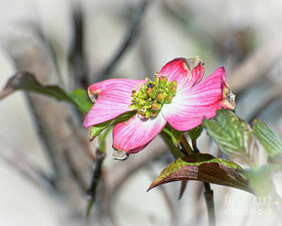 Photograph - Pink Dogwood by Kerri Farley