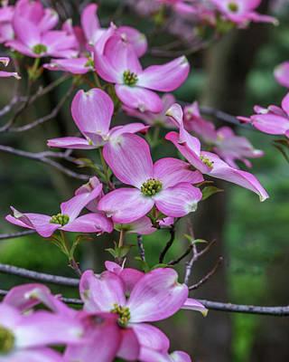 Photograph - Pink Dogwood Mo Bot Garden Dsc01705 by Greg Kluempers