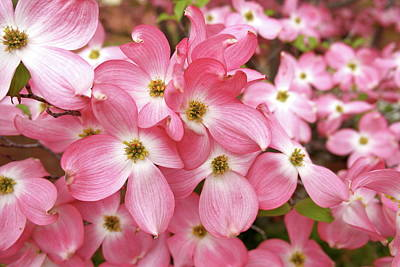 Photograph - Pink Dogwood Riot by Michele Myers