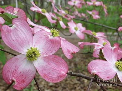 Photograph - Pink Dogwood Tree In Bloom  by Rebecca Overton