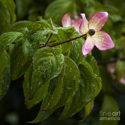 Wine Down - Pink Dogwood with Water Drops - SQ by Mandy Judson