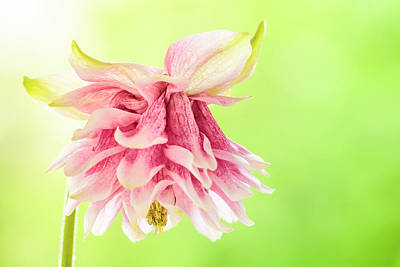 Photograph - Pink Double Columbine by Oscar Gutierrez