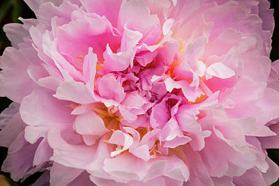 Photograph - Pink Double Peony by Mark Mille