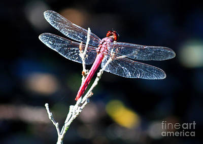 Photograph - Pink Dragonfly by Carol Groenen