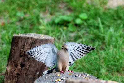 Photograph - Pink Feet Landing On Log by Dan Friend