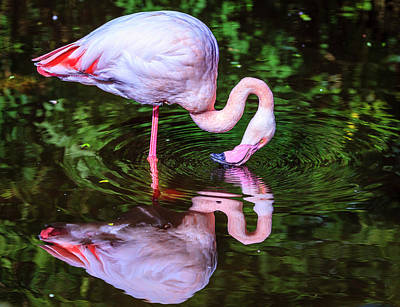 Photograph - Pink Flamingo by Alexey Stiop