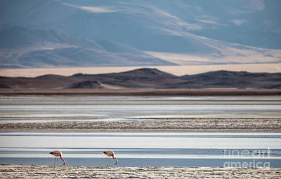 Photograph - Pink Flamingos In The Andes by Olivier Steiner