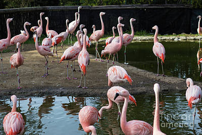 Photograph - Pink Flamingos by Suzanne Luft