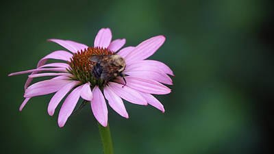Photograph - Pink Flower And Bee by Jack Nevitt