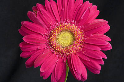 Flowers Photograph - Pink Flower by Buddy Mays