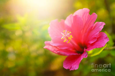 Pink Flower Art Print by Carlos Caetano