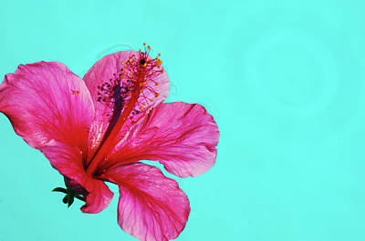Photograph - Pink Flower In Water by William Kimble