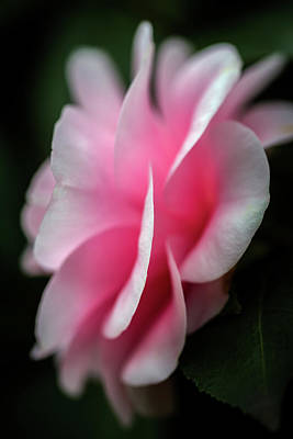 Photograph - Pink Camellia by Rick Strobaugh