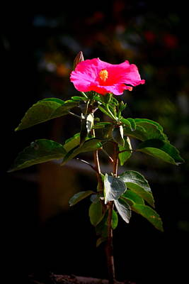 Photograph - Pink Flower by Salman Ravish
