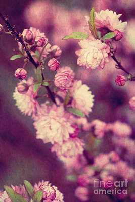 Photograph - Pink Flowering Almond Blossoms by Jim And Emily Bush