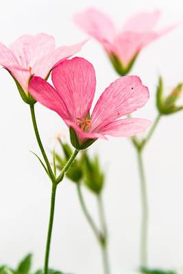 Geranium Photograph - Cranesbill by Chris Dale