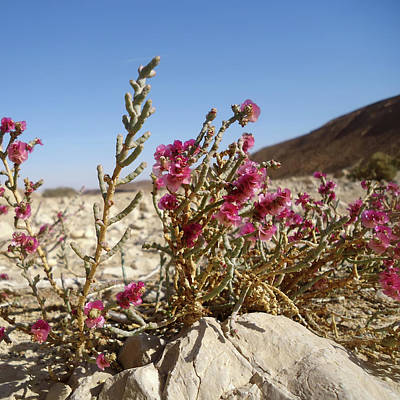 Rights Managed Images - Pink flowers in the desert against the background of mountains Royalty-Free Image by Emma Grimberg